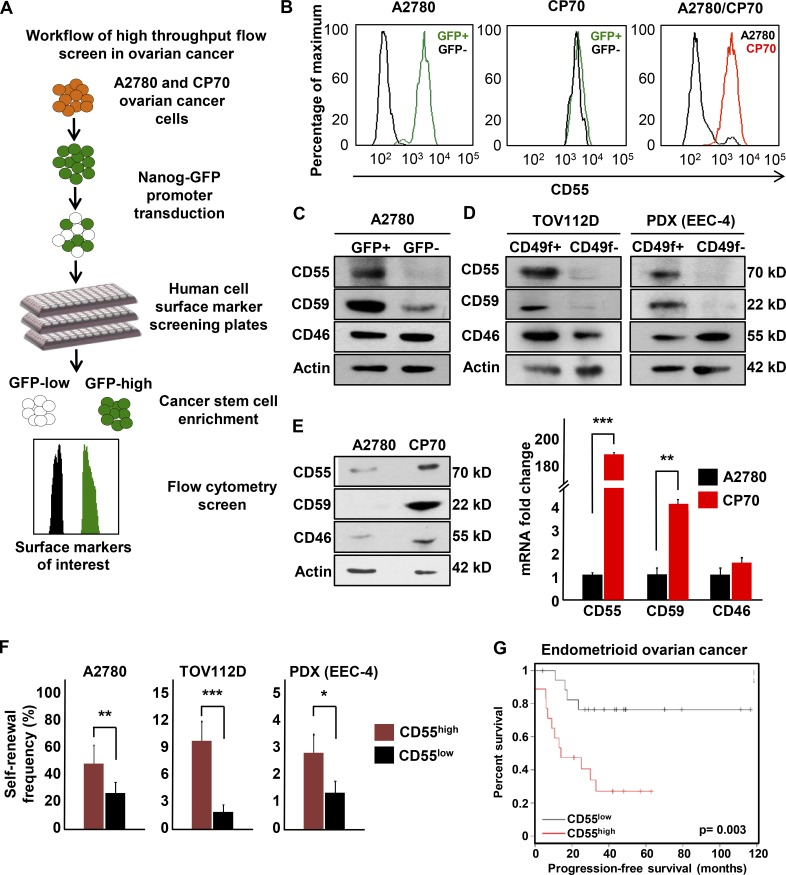CD55 is highly expressed on endometrioid ovarian and uterine CSCs and cisplatin-resistant cells. (A) A high-throughput flow cytometry screen of 242 different surface CD markers in cisplatin-naive (A2780) and cisplatin-resistant (CP70) ovarian cancer cells was performed to investigate the differential expression of these markers between CSCs versus non-CSCs and cisplatin-naive versus cisplatin-resistant cells. (B) Of 242 markers, CD55 was the most highly and differentially expressed between cisplatin-naive CSCs versus non-CSCs and cisplatin-resistant versus cisplatin-naive cells. (C and D) Cell lysates from cisplatin-naive A2780 reporter, TOV112D, and PDX (EEC-4) cells sorted into CSCs and non-CSCs by GFP expression and CD49f expression, respectively, were probed with anti-CD55, CD59, and CD46 antibodies. Actin was used as a loading control. Data are representative of three independent experiments. (E) Protein and mRNA expression of CD55, CD59, and CD46 were assessed in lysates from cisplatin-naive (A2780) and cisplatin-resistant (CP70) cells. Actin was used as a control. Data are representative of two independent experiments. (F) Limiting dilution analysis of CD55+ compared with CD55− cisplatin-naive cells. The graph represents the estimates in percentage of self-renewal frequency in sorted populations with the corresponding p-values. Data represent two independent experiments. (G) Kaplan-Meier (K-M) progression-free survival curve for endometrioid ovarian cancer patients who had high versus low tumor CD55 expression before therapy was obtained from K-M plotter database ( http://kmplot.com/analysis/ ). *, P