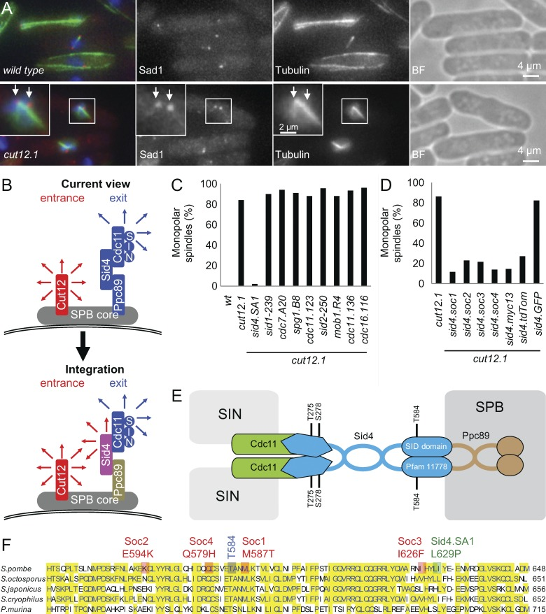 C-terminal mutation of sid4 suppresses the cut12.1 SPB activation defect. (A) Representative images of immunofluorescence to reveal tubulin, the spindle pole marker Sad1, and chromatin 3 h after the temperature of an early log-phase culture was shifted from 25°C to 36°C in EMM2. n = 5. Arrows indicate the two SPBs. BF, brightfield. (B) A cartoon summarizing the SPB molecules upon which this study focuses. The representation is highly stylized because the mode of anchoring to the SPB core remains unclear for Ppc89 and Cut12, however. Cut12 is known to promote mitotic commitment (red arrows), whereas the anchorage of Sid4 to the SPB by Ppc89 enables Sid4 to anchor Cdc11 to the SPB. As Cdc11 recruits the SIN to the new SPB in anaphase, the recruitment of Cdc11 to Sid4 supports the events of mitotic exit such as septation and the formation of the equatorial microtubule-organizing center ( Heitz et al., 2001 ; Simanis, 2015 ). (C and D) Representative graphs indicating the frequency of spindle monopolarity in samples of the indicated strains 3 h after early log phase cultures were shifted from 25°C to 36°C. For each strain, 100 cells with spindle staining were scored as being either bipolar or monopolar. n = 3. Note that the SPB activation delay of cut12.1 means that monopolarity gives an underestimate of the incidence of SPB activation defects ( Tallada et al., 2009 ). See also Fig. S1 A. (E) A schematic of the characterized associations of the indicated SPB components. The core SPB and SIN are indicated in gray. It is not clear whether only one or both of the components of the Sid4 dimer binds to Cdc11 or Ppc89. The coiled-coil regions in Ppc89 have prompted us to show Ppc89 as a dimer; however, we note that homodimerization or higher levels of oligomerization are yet to be demonstrated. (F) The position of key mutations within an alignment of the sequences of the C termini of Sid4 from Schizosaccharomyces species and Pneumocystis murina .