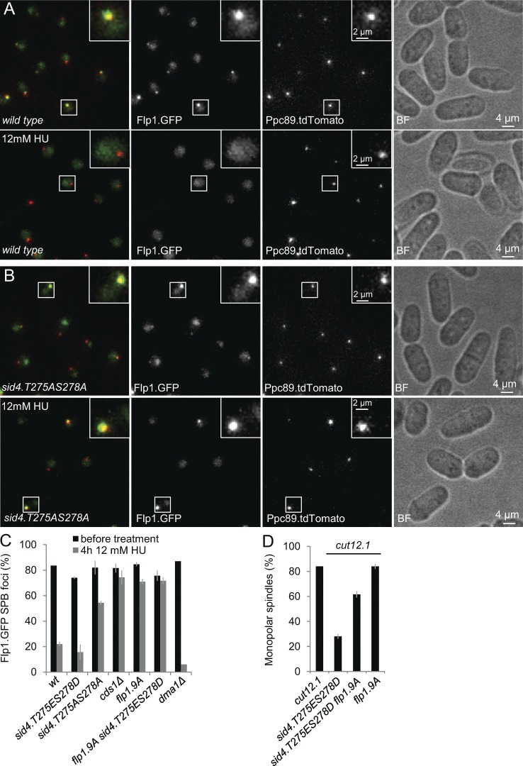 Blocking phosphorylation on T275 and S278 of Sid4 to block Chk2 Cds1 recruitment abolishes Chk2 Cds1 's ability of to evict Flp1.GFP from the SPB. (A and B) Representative fluorescence and brightfield (BF) images of flp1.GFP ppc89.tdTom cells that reveal how the eviction of Flp1.GFP from the SPB is abolished in the sid4.T275AS278A background that prevents Chk2 Cds1 recruitment to the SPB. (C) Quantification of the data in A and B. n = 3. For controls, see Fig. S4. (D) Frequency of monopolarity in the indicated strains as for Fig. 1 B . Error bars in C and D indicate SD for three independent experiments.
