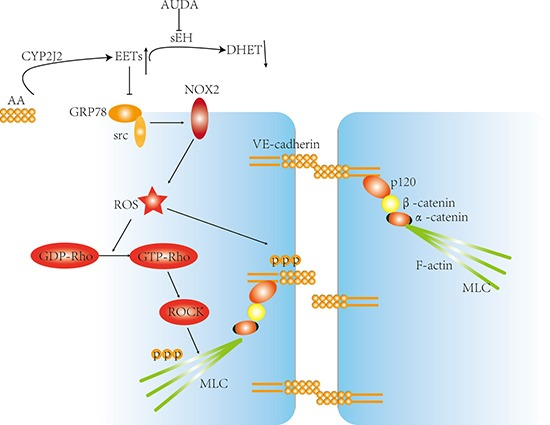 Proposed model about the mechanisms by which CYP2J2 regulated LPS-induced barrier dysfunction AS indicated, LPS promoted GRP78/Src interaction and subsequent activation, leading to increased ROS generation and Rho activation, however, by suppressing GRP78/Src interaction, the CYP2J2-EETs inhibited ROS production and Rho-ROCK activation. At the same time, VE-cadherin and MLC phosphorylation was also interrupted, thus suppressed LPS induced barrier dysfunction eventually.