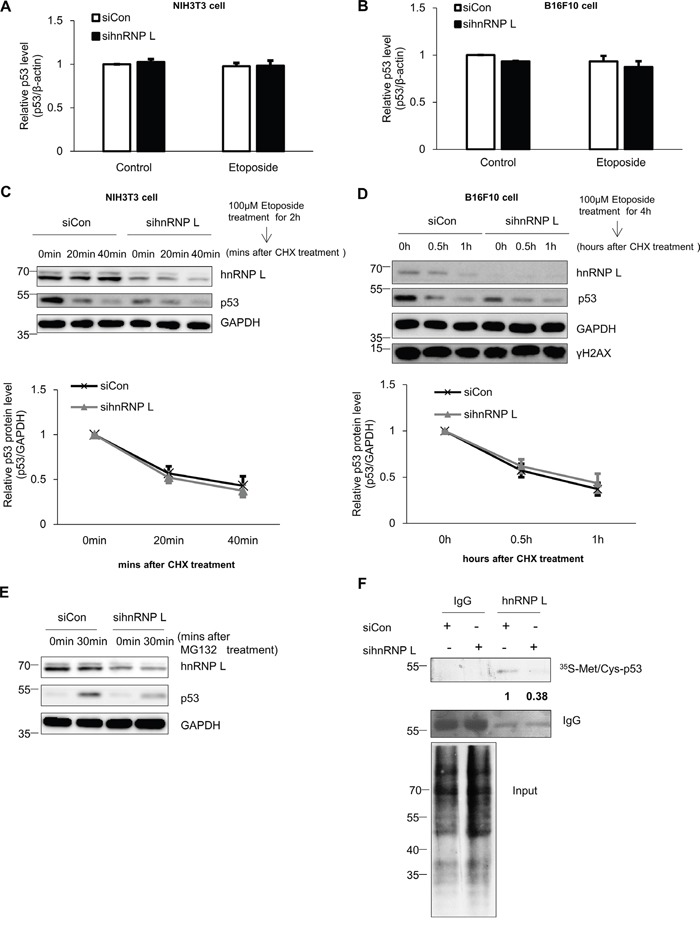 hnRNP L controls the expression of p53 through translational regulation (A, B) hnRNP L does not affect endogenous p53 mRNA levels in either normal or DNA-damaged cells. Control siRNA or hnRNP L siRNA was transfected into (A) NIH3T3 and (B) B16F10 and cells treated with 100 μM etoposide for 1 hour and 4 hours, respectively. Endogenous p53 mRNA levels were analyzed by quantitative real-time PCR (qRT-PCR) and normalized to β-actin. The bars represent the mean±SEM (n=3). (C, D) Knock-down of hnRNP L does not affect p53 protein stability. After 100 μM etoposide was added to (C) NIH3T3 and (D) B16F10 cells, 50 μg/ml cycloheximide (CHX) was then added for the indicated times. Endogenous p53 levels and knock-down of hnRNP L were determined by WB. The amount of p53 protein was normalized to GAPDH. p53 protein levels of 0 time point and control siRNA transfected cells were set as 1. Data show relative p53 protein intensity from four independent experiments (mean±SEM). (E) hnRNP L increases the translation rate of p53 mRNA. After transfection with control or hnRNP L siRNA, 10 μM MG132 was added for the indicated times. Changes in the levels of p53 protein by translation or knock-down were assessed by WB. (F) Metabolic labeling shows that reduction of hnRNP L downregulates protein synthesis of p53. After transfection of NIH3T3 cells with control or hnRNP L siRNA, cells were incubated in medium containing 35 S-labeled methionine ( 35 S-Met) and 35 S-labeled cysteine ( 35 S-Cys) and 10 μM MG132. Newly synthesized p53 proteins were detected after immunoprecipitation (IP) with monoclonal p53 antibody. The numbers at the bottom of the first lane mean the fold increases relative to control. Data information: In (A-D) ; Two-way ANOVA