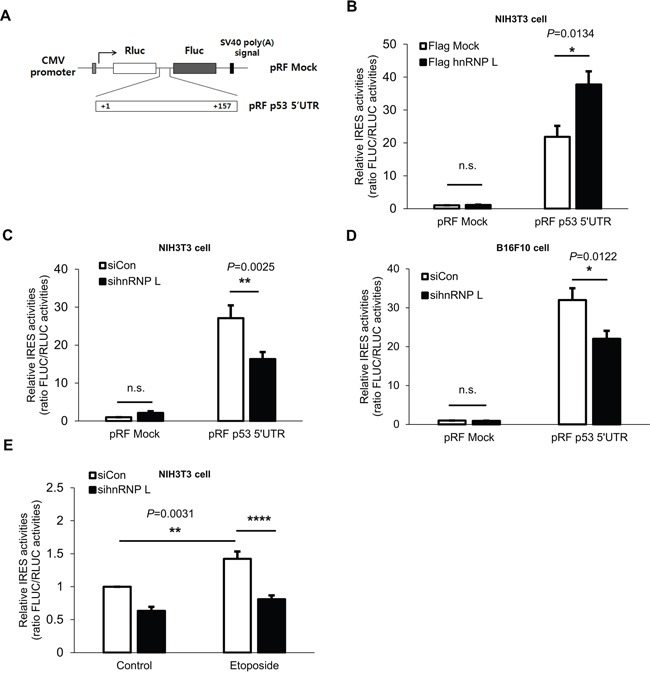 hnRNP L enhances IRES activity of p53 5'UTR (A) Schematic representation of the bicistronic luciferase pRF plasmids used for the detection of p53 5'UTR IRES activity. The 157bp p53 5'UTR was inserted between the two cistrons, Renilla luciferase (RLUC) and firefly luciferase (FLUC). (B) IRES activity of p53 5'UTR is increased under hnRNP L overexpression. NIH3T3 cells were transfected with flag Mock or flag hnRNP L and 24 h later with pRF mock vector or pRF p53 5'UTR vector. Luciferase activity is shown as the ratio of FLUC to RLUC and IRES activity of pRF mock and flag Mock transfected cells was set as 1. The bars represent the mean±SEM (n=3). (C, D) Suppression of p53 5'UTR IRES activity is observed after knock-down of hnRNP L. At 24 h after transfection with control or hnRNP L siRNA, pRF mock or pRF mp53 5'UTR vector was transfected into (C) NIH3T3 and (D) B16F10 cells. IRES activity of pRF mock and control siRNA transfected cells was set as 1. The bars represent the mean±SEM (n=7, n=4). (E) Increase of p53 5'UTR IRES activity under etoposide treatment is diminished through the reduction of hnRNP L. Cells were transfected with pRF p53 5'UTR at 24 h after transfection with either control or hnRNP L siRNA, and DMSO or etoposide was added at 18 h after transfection. IRES activity of control siRNA transfected and DMSO treated NIH3T3 cells was set as 1. The bars represent the mean±SEM (n=7). Data information: In (B–E) , n.s., non-significant, * P