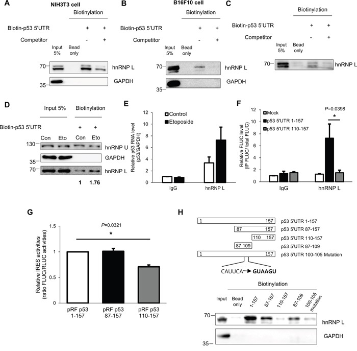 hnRNP L interacts with p53 mRNA and the binding apparently increases after DNA damage (A, B) In vitro binding assays were performed by incubating in vitro transcribed biotin-p53 5'UTR with (A) NIH3T3 or (B) B16F10 cell extracts and followed by pull down with streptavidin beads. The binding between p53 5'UTR and hnRNP L was confirmed by Western blotting. GAPDH was used as negative control. Non-biotinylated p53 5'UTR was used as competitor. (C) hnRNP L directly binds to p53 5'UTR. Purified hnRNP L proteins were incubated with in vitro transcribed biotin-p53 5'UTR. (D) Under DNA damage conditions, the amount of hnRNP L proteins interacting with p53 5'UTR increases. In vitro transcribed biotin-p53 5'UTR was incubated with cytoplasmic extracts of non-treated (Con) or etoposide-treated (Eto) NIH3T3 cells. hnRNP U was used as negative control and GAPDH was used as loading and negative control. The numbers at the bottom mean the fold increases relative to control. (E) Endogenous hnRNP L binds endogenous p53 mRNA and the binding increases under etoposide treatment. Lysates of non-treated (Control) and etoposide treated (Etoposide) NIH3T3 cells were used for RNA-immunoprecipitation (RNAIP) analysis using IgG control and hnRNP L antibody. RNA abundance in IP samples was determined by qRT-PCR. The levels of p53 mRNA were normalized to GAPDH mRNA levels. p53 mRNA level in control-IgG sample was set as 1. The bars represent the mean±SEM (n=3). (F) hnRNP L binds to p53 5'UTR 1-109 region. pRF Mock, pRF p53 5'UTR 1-157 or pRF p53 5'UTR 110-157 vector was transfected into NIH3T3 cells. 24h later, cells were lysed and the lysates were used for RNAIP using control IgG and hnRNP L antibody. RNA abundance was determined by qRT-PCR. The levels of FLUC mRNA in IP samples were normalized to input FLUC mRNA levels. FLUC mRNA level in control IgG sample of the pRF Mock transfected cells was set as 1. The bars represent the mean±SEM (n=4). (G) The region between nucleotides 87 and 109 of p53 
