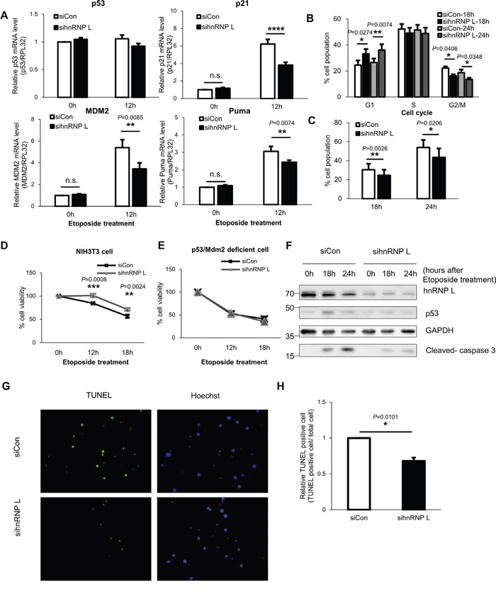 Reduction of hnRNP L downregulates p53 expression and relieves cell cycle arrest and DNA damage-induced apoptosis of NIH3T3 cells (A) mRNA levels of p53 target genes including p21, Mdm2 and Puma decrease in NIH3T3 cells transfected with hnRNP L siRNA and under etoposide treatment. At 24 h after transfection with control or hnRNP L siRNA, NIH3T3 cells were treated with or without 100 μM etoposide for 12 h. The levels of p21, MdmM2 and Puma mRNAs were analyzed by qRT-PCR and normalized to RPL32 mRNA levels. mRNA levels in control siRNA transfected and non-etoposide treated cells were set as 1. The bars represent the mean±SEM (n=5). (B, C) hnRNP L silencing lowers p53-mediated G2/M arrest and cell death. At 24 h after transfection with control or hnRNP L siRNA, NIH3T3 cells were treated with 50 μM etoposide for the indicated times and stained with DNA dye, propidium iodide (PI). The data were analyzed by flow cytometry. The bars represent the mean±SEM (n=4). (D) Reduction of hnRNP L increases cell viability. Control siRNA or hnRNP L siRNA transfected cells were exposed to 50 μM etoposide for the indicated times and the cell viability was assessed by MTT assay. The graph represents the mean±SEM (n=3). (E) In immortalized fibroblasts from p53/Mdm2 double-knockout mouse, hnRNP L does not affect cell viability. 50 μM etoposide was added to p53/Mdm2 double-knockout mouse fibroblasts transfected with siCon or sihnRNP L and MTT assay was conducted for measurement of cell viability. The graph represents the mean±SEM (n=3). (F) p53 expression is suppressed by knock-down of hnRNP L, which reduces activation and cleavage of caspase 3. Transfected cells were treated with 50 μM etoposide for the indicated times. Knock-down of hnRNP L was confirmed by WB. (G, H) Cell apoptosis was suppressed by hnRNP L knock-down. TUNEL assay was performed in cells transfected with control or hnRNP L siRNA and treated with 100 μM etoposide for 48 h. Nuclei were stained with Hoechst 33342. (G) Repres