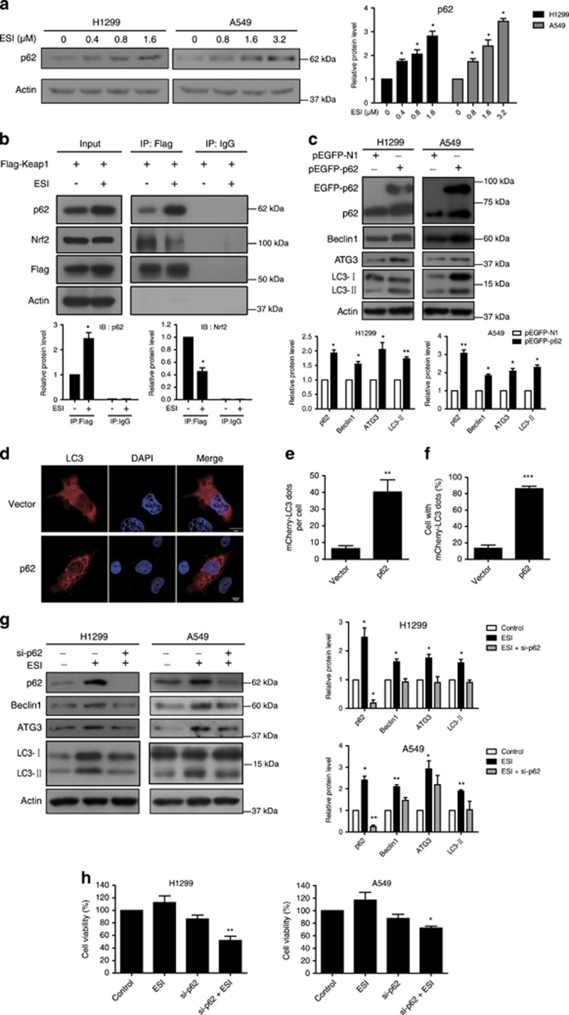 p62 is required for ESI-induced autophagy. ( a ) H1299 and A549 cells were treated with the indicated concentration of ESI for 24 h, and the p62 protein level was determined by western blot. ( b ) H1299 cells transfected with Flag-Keap1 plasmid were treated with ESI (1.6 μ M) for 24 h. Immunoprecipitation was performed using an anti-Flag antibody or IgG as control, and immunublotting was carried out on the total cell lysates or immunoprecipitates using the indicated antibodies. ( c ) H1299 and A549 cells were transfected with pEGFP-p62 plasmid and pEGFP-N1 (vector control), and the autophagy markers including Beclin1, ATG3 and LC3 were determined by western blot. ( d - f ) H1299 cells overexpressing mCherry-LC3 were transfected with pEGFP-p62 plasmid and pEGFP-N1 (vector control) for 24 h, and the mCherry-LC3 punctate dots in cells were examined. Positive signals were defined if the cells have five or more mCherry-LC3 dots in the cytoplasm. ( e and f ) The number of mCherry-LC3 dots per cell ( e ) and the percentage of the cells with mCherry-LC3 dots ( f ) were counted under florescence microscope. ( g and h ) H1299 and A549 cells were transfected with anti-p62 siRNA (50 nM) or control siRNA together with indicated concentrations of ESI treatment, and expression levels of the autophagy markers ( g ) and cell viability ( h ) were analyzed. Note that knockdown of p62 attenuated ESI-induced autophagy and survival. All data were representative of three independent experiments. Bars, S.E.M.; * P