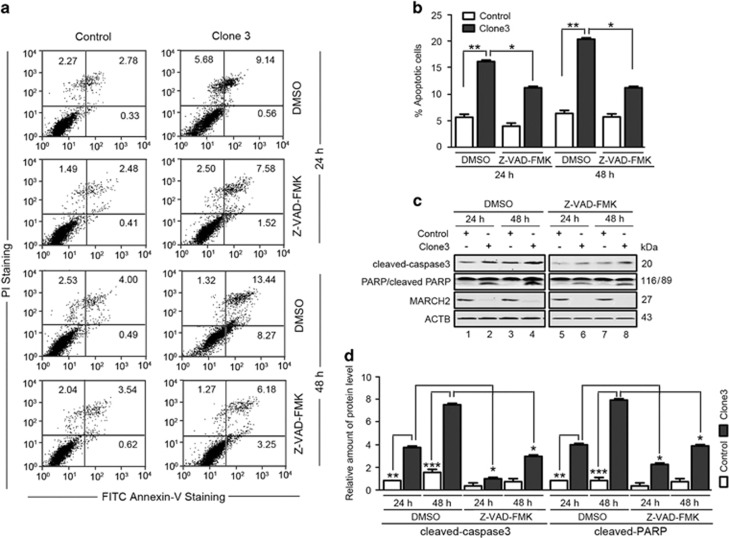Knockout of MARCH2 in HCT116 cells promotes apoptosis. ( a ) Control cells and Cas9- MARCH2 HCT116 cells were serum-starved for 18 h, and then pulsed with 10% FCS for 24 h or 48 h with or without 50 μ m z-VAD-fmk. Apoptosis was measured by FITC–Annexin-V/PI staining and flow cytometry. ( b ) Data are mean±S.E.M. of at least three independent experiments. ( c ) Western blotting of the levels of cleaved caspase-3 and cleaved-PARP in Cas9- MARCH2 HCT116 cells treated as described in ( a ). ( d ) Quantification of cleaved caspase-3 and cleaved-PARP levels relative to ACTB in cells treated as described in ( c ). The average value in DMSO treated control cells for 24 h was normalized to 1. Data are mean±S.D. of three independent experiments. * P