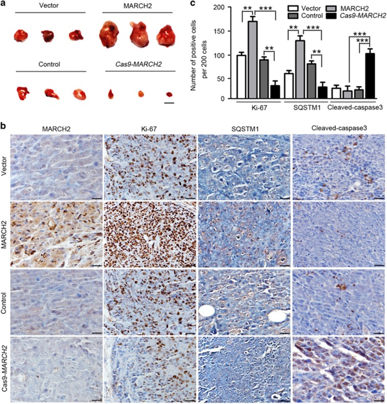MARCH2 promotes the tumorigenicity of colon cancer cells in vivo . ( a ) Empty vector-transfected HCT116 cells, MARCH2-overexpressing HCT116 cells, control (wild-type) HCT116 cells or Cas9- MARCH2 HCT116 cells were subcutaneously injected into BALB/c nude mice ( n =6). Xenograft tumors were excised and imaged on day 20. Scale bar: 1 cm. ( b ) Immunohistochemical staining for MARCH2, Ki-67, SQSTM1 and cleaved caspase-3 in xenograft tumor tissues. ( c ) The number of positive cells per 200 cells in ( b ). ** P