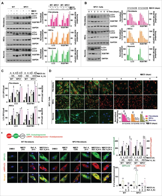 MβCD increases autophagosome formation and restores impaired autophagy flux in NPC1 cells. (A) Autophagy detection in both WT and NPC1 fibroblasts, NSCs and neurons. Cells were treated with the indicated compounds (100 µM MβCD, 100 nM bafilomycin A 1 (baf. A1) or MβCD plus baf. A1) for 24 h, followed by western blot analysis. For this and all subsequent figures, a representative western blot is shown, and the bar graph represents the mean ± SEM of at least 3 replicates, unless otherwise noted. The intensity of LC3B-II and SQSTM1 were normalized with GAPDH. (B) Time-courses of LC3B and SQSTM1 levels in NPC1 cells after treatment with 100 µM MβCD. Cells were treated for the indicated times and analyzed by western blot. LC3B-II and SQSTM1 expression were normalized with GAPDH expression. (C) Quantification of LC3B and SQSTM1 immunofluorescence in WT and NPC1 fibroblasts and NSCs displayed in Fig. S2A. The normalized relative fluorescence intensities of LC3B and SQSTM1 dots are shown in bar graphs (mean ± SEM for at least 3 fields). (D) Time courses for effect of MβCD on reduction of cholesterol accumulation in NPC1 fibroblasts, NSCs and neurons. NPC1 cells were cultured in 96-well plates and treated with 100 µM MβCD for the indicated days, followed by the filipin staining assay. Data represent mean ± SEM of 3 replicates. For this and all subsequent figures, * p
