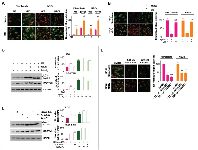 Pharmacological effect of MβCD is blocked by an inhibitor and mimicked by activators of AMPK. (A, B) Filipin staining for unesterified cholesterol accumulation in WT and NPC1 fibroblasts treated with the AMPK inhibitor dorsomorphin (DM) in the presence and absence of 100 µM MβCD. (C) Western blotting for LC3B and SQSTM1 levels in NPC1 fibroblasts treated with the indicated compounds (2 µM DM, 100 µM MβCD, or 100 nM baf. A1) for 24 h. LC3B-II and SQSTM1 expression were normalized to GAPDH expression. (D) Filipin staining after the cells were treated with the indicated compounds (1.25 µM RSVA 405, 200 µM A769662 or 100 nM baf. A1) for 4 d. (E) Western blotting for LC3B and SQSTM1 levels in NPC1 fibroblasts treated with AMPK activators (1.25 µM RSVA 405 or 200 µM A769662) for 24 h. LC3-II and SQSTM1 expression were normalized to GAPDH expression. Scale bar: 10 µm.