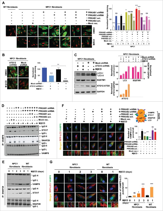 PRKAB1 or PRKAB2 is required for the effect of MβCD on cholesterol reduction, autophagy induction, and increase of autophagy flux. (A, B) Filipin staining of NPC1 fibroblasts treated with MβCD. (A) PRKAB1 or PRKAB2 expression was silenced by shRNA and the subunits re-expressed with transient transfection of either PRKAB1 or PRKAB2 activation vectors. (B) ATG12 expression was silenced by shRNA. All of the cells were treated with 100 µM MβCD or DMSO control for 4 d followed by the filipin staining assay. (C) NPC1 fibroblasts transfected with ATG12 shRNA or control shRNA were treated with 100 µM MβCD or DMSO control for 24 h, followed by western blot analysis with the indicated antibodies. LC3B-II, SQSTM1 and ATG12 expression were normalized to GAPDH expression. (D-G) MβCD effects on SNARE proteins interactions. (D) Immunoprecipitation and western blot analysis of 3 SNARE proteins (VAMP8, STX17 and SNAP29). WT fibroblasts with the PRKAB/AMPK β-subunit silenced or with AMPK β-subunit re-expression was treated with MβCD or DMSO for 24 h. Cells were lysed and directly immunoprecipitated with anti-VAMP8 antibody followed by western blot analysis with the indicated antibodies. (E) NPC1 and WT fibroblasts were treated with MβCD for the indicated times, followed by immunoprecipitation with anti-SNAP29 and western blot analysis with the indicated antibodies. (F) Immunofluorescence staining and colocalization of LC3 with VAMP8. Indicated WT fibroblasts, transiently transfected with TagRFP-LC3 lentiviral particles, were treated with 100 µM MβCD or DMSO for 24 h and stained with anti-VAMP8 antibody. The punctate structures of VAMP8 were colocalized with RFP-LC3 (yellow color in the merged images). Data represent mean ± SEM of 10 images. (G) NPC1 and WT fibroblasts, transiently transfected with TagRFP-LC3 lentiviral particles were treated with MβCD for the indicated times, followed by staining with anti-VAMP8 antibody. The colocalization of VAMP8 and RFP-LC3 puncta was analyzed as