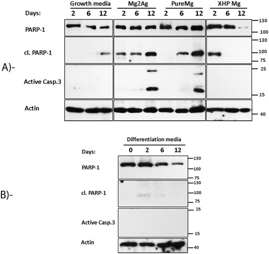 Representative Immunoblotting of the expression level of PARP-1, cl.PARP-1 and active casp-3 after 2, 6 and 12 days of MC3T3-E1 culture on 48-well tissue culture plates, Pure Mg, Mg2Ag and XHP Mg alloy samples a or at day 0, 2, 6 and 12 in osteogenic condition in 48 well tissue culture plates b . B-actin was used as a loading control