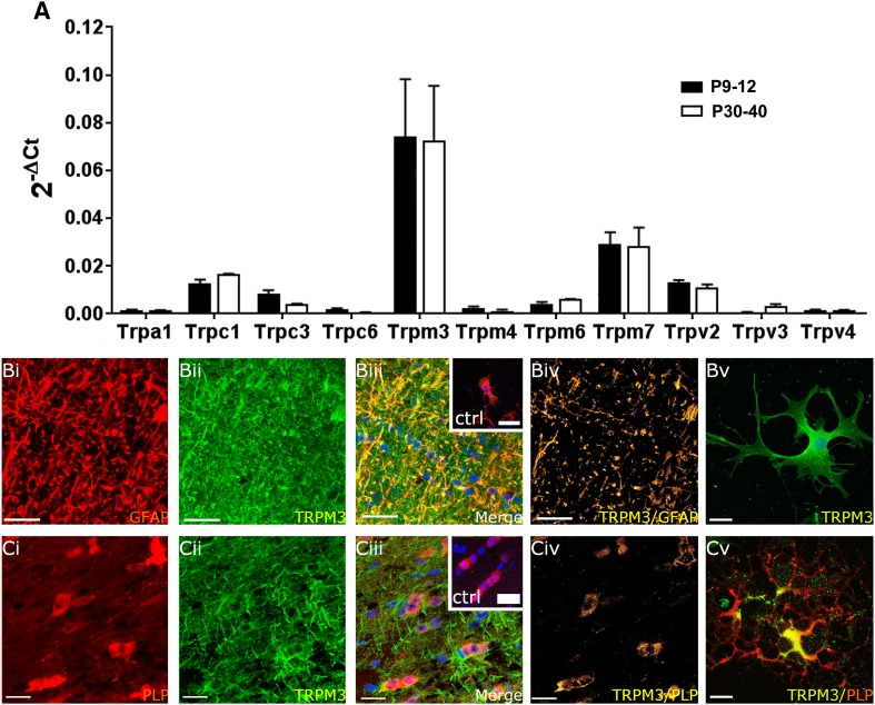 Expression of TRP channels in optic nerve glia. a qRT-PCR of acutely isolated optic nerves from WT mice aged P9–P12 and P30–P40; data are from 10 pooled optic nerves in each age group, run in triplicate, expressed as relative mRNA levels (2 -ΔCt ) compared to the housekeeping gene GAPDH method (mean ± SEM, n = 3). TRPM3 was the most highly expressed TRP channel in the postnatal and adult nerve (*** p