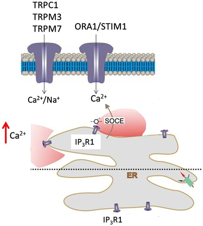 Mechanisms of SOCE in optic nerve glia. ATP-mediated calcium signalling in optic nerve glia is via P2Y G-protein-coupled receptors and the formation of IP3, which acts on IP3R1 on the ER to trigger release of Ca 2+ into the cytosol. Subsequent replenishment of ER stores in astrocytes and oligodendrocytes is dependent on SOCE via TRPM3 and <t>Orai1,</t> which form the plasmalemmal Ca 2+ channels, and mainly Stim1, which acts as the sensor of Ca 2+ depletion, and uptake into the ER is via SERCA pumps. Oligodendrocytes also express Stim2, which may be localized to the myelin, whereas Orai1, Stim1 and TRPM3 are localized to oligodendroglial somata. Notably, calcium homeostasis in optic nerve glia depends on an apparent continuous Ca 2+ influx from the extracellular milieu that is largely dependent on SOCE. Moreover, SOCE is essential for the sustainability of ATP-mediated Ca 2+ signalling in optic nerve glia, which has a central role in white matter physiology and pathology