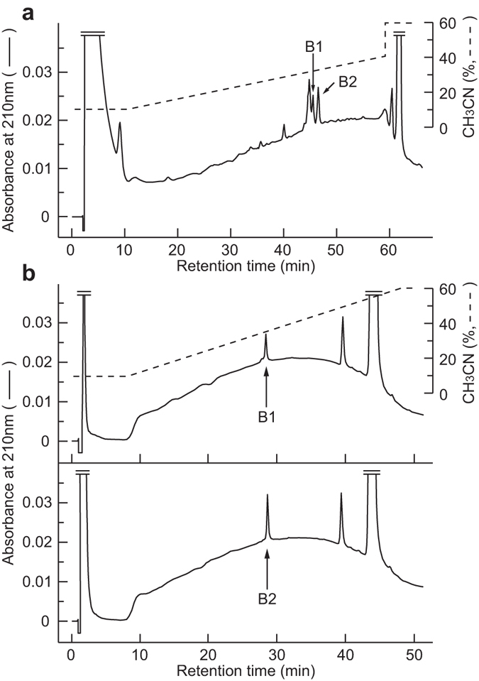 Purification of NURP from rat brain extracts. ( a ) RP-HPLC on a μ-Bondasphere C18 column of the materials eluted from the immunoaffinity column for rat NURP. The peaks containing NURP36 (B1) and NURP33 (B2) are indicated by arrows. ( b ) Final purification of rat NURP36 (upper; B1) and rat NURP33 (lower; B2) using a Chemcosorb 3ODS-H column. Purified peptides are indicated by arrows.