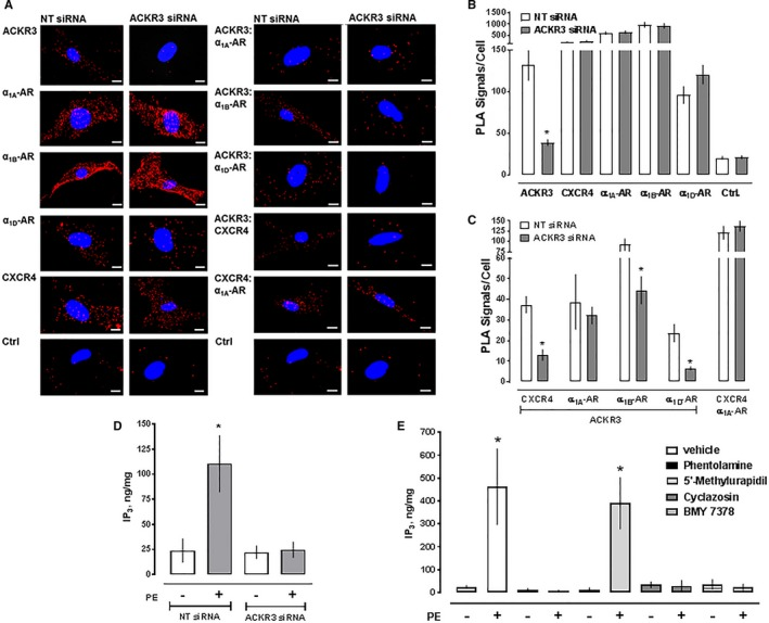 Atypical chemokine receptor 3 (ACKR3) gene silencing reduces ACKR 3:α 1B/D ‐adrenergic receptor (AR) and ACKR 3: chemokine (C‐X‐C motif) receptor 4 (CXCR4) heteromerization and inhibits α 1B/D ‐ AR signaling in human vascular smooth muscle cells (hVSMCs). A, Representative proximity ligation assay (PLA) images for the detection of individual receptors (left) and receptor‐receptor interactions (right) in hVSMCs incubated with nontargeting ( NT ) or ACKR 3 small interfering RNA (siRNA). Images show merged PLA /4′,6‐diamidino‐2‐phenylindole dihydrochloride signals. Ctrl: Omission of one primary antibody. Scale bars=10 μm. B, Quantification of PLA signals per cell for the detection of individual receptors, as in (A). n=4 independent experiments with n=10 images per condition and experiment. * P
