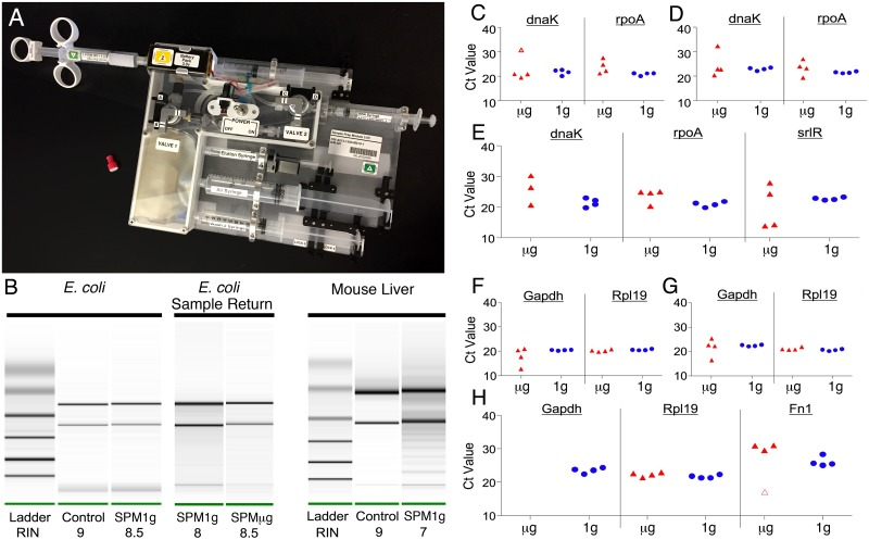 RNA isolation and RT-qPCR in microgravity. (A) Photo of SPM. (B) Typical RNA quality from SPM with E . coli (left panel) and mouse liver (right panel), control Qiagen (left lane) SPM (right lane). Center panel shows RNA quality from the 1 g control (left lane) and the returned microgravity sample from ISS (right lane). (C-E) Scatter plots with jitter of the microgravity and 1 g control E . coli singleplex (C), duplex (D) and triplex (E) reactions. One outlier is indicated by the open marker in C. One of the microgravity triplex tubes did not give a dnaK-FAM signal (E). (F-H) Scatter plots with jitter of the microgravity and 1 g control mouse liver singleplex (F), duplex (G) and triplex (H) reactions. One outlier from the microgravity triplex fn1 plot is indicated by the open marker and no gapdh-FAM signal was seen in the microgravity triplex reactions (H).