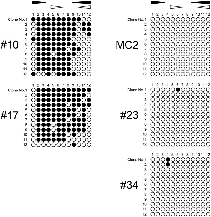 Bisulfite sequencing analysis to confirm the RT-MSP data. The results of bisulfite sequencing of the 5' IRF6 CGI for representative samples are shown. The clinical melanoma samples #10 and #17 were examined as representatives of samples with high methylation levels. Normal cultured melanocytes MC2 and clinical melanocytic nevus samples #23 and #34 were examined as representatives of samples with low methylation levels. Closed and open circles indicate methylated and unmethylated CpG sites, respectively. Closed and open triangles indicate the location of the RT-MSP primer sets specific to the methylated and unmethylated DNA sequences, respectively. The vertical and horizontal numbered rows indicate each clone and CpG site, respectively.