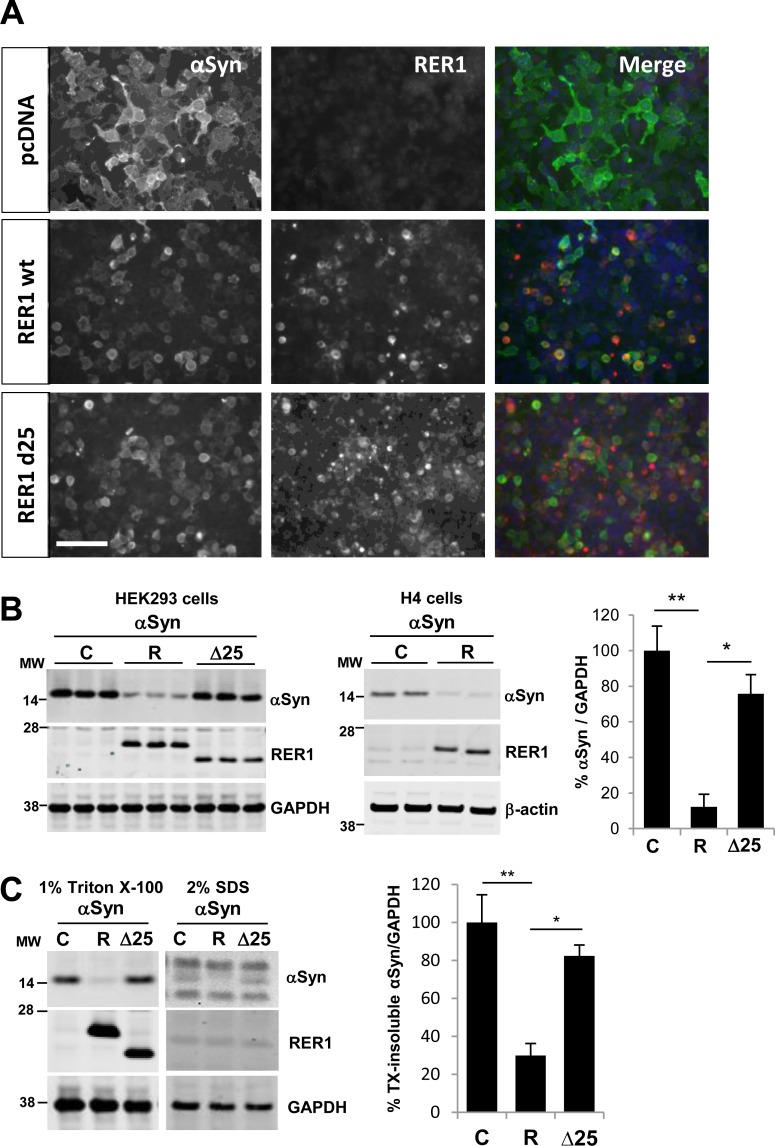 RER1 expression significantly reduces αSyn levels. (A) αSyn and RER1 were transiently overexpressed in HEK293. Cells were co-stained with αSyn (green) and RER1 (red) specific antibodies. The photos show that αSyn-immunoreactivity was reduced by wild type RER1 and less so by mutant RER1Δ25 expression. (B) Wild type RER1 expression significantly decreased αSyn levels (mean, 87.8 ±7.1%), but expression of RER1Δ25 resulted in significantly smaller effects on levels of αSyn (mean, 24.3 ±10.6%) (*p