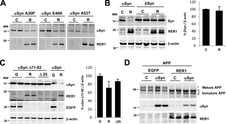 RER1 effects are specific to αSyn. (A) RER1 overexpression decreased the levels of αSyn mutants (A30P, E46K, and A53T). (B) The levels of βSyn did not change with RER1 overexpression (p = 0.725) (n = 4/group). (C) Expression of αSyn Δ71–82 mutant which is unable to aggregate due to the lack of a corresponding middle hydrophobic region, is not significantly decreased by RER1 overexpression (F 2,15 = 2.214, p = 0.1438) (n = 6/group). (D) Overexpression of αSyn does not affect the maturation of APP or RER1 retrieval/retention function. C = control; R = RER1 transfected; G = EGFP