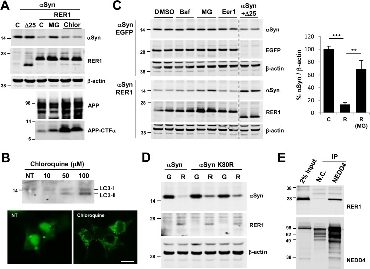 Proteasome inhibition rescues αSyn levels. (A) 24h post transfection, cells were treated with 10 μM MG132 (MG) or 100 μM chloroquine (Chlor). MG132 treatment partially recovered RER1-mediated reduction of αSyn. In contrast, chloroquine did not rescue αSyn, but increased APP levels consistent with its effects on macroautophagy and the lysosome. (B) Chloroquine treatment blocks autophagy activity. Cells were treated with 10–100 μM Chlorquine for 24 h. Lipidated and sequesterted LC3-II increased by chloroquine treatment (top panel). Cells were transfected with GFP-LC3 and 24 h post transfection, cells were treated with 100 μM Chloroquine for 24 h. Diffused pattern of LC3-I decreased and punctated pattern of LC3-II increased by Chloroquine treatment (bottom panel; scale bar = 10 μm). (C) Cells were co-transfected with αSyn and either EGFP or RER1, and then 24h post transfection treated with DMSO, 100 nM Bafilomycin (Baf), 10 μM MG132 (MG), or 10 μM Eeyarestatin1 (Eer1). In cells co-transfected with EGFP control, MG132 did not increase αSyn levels compared to cells exposed to DMSO. In cells co-transfected with RER1, MG132 showed a similar partial recovery of RER1-mediated αSyn reduction (mean, 69.2%), whereas the macroautophagy and ERAD inhibitors, Bafilomycin and Eeyarestatin1, had no apparent effect (**p
