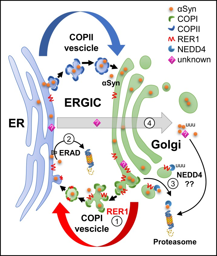 """Summary and putative model of RER1 effects on αSyn. 1) RER1 expression increases ER retrieval/retention of """"immature"""" proteins in the cis-Golgi compartment which may contribute to ER retention of αSyn. 2) RER1 may indirectly retrieve αSyn back to the ER for degradation via the ERAD and proteasome (unfolded response system). 3) NEDD4 was found to interact with RER1. Although an E3 ligase, NEDD4 has been shown to reduce αSyn though the endosomal-lysosomal pathway [ 48 ]. RER1-mediated degradation of αSyn may also occur independent of ubiquitin via the 20S proteasome. 4) RER1 expression may act though maturation of an unknown protein (?) that mediates targeting and disposal of excess cytosolic αSyn via the proteasome (through an ubiquitin independent mechanism). ER, endoplasmic reticulum; ERAD, ER-associated degradation; ERGIC, ER-Golgi intermediate compartment."""