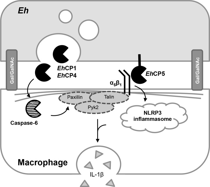 Schematic representation of the Eh -macrophage interacting proteins at the intercellular junction. Contact between Eh and macrophages are initiated by high affinity binding with the Gal-lectin. Eh CP-A5, which is expressed at the surface of Eh , has been shown to bind to the α 5 β 1 integrin at the surface of macrophages through the RGD motif. This in turn activates the NLRP3 inflammasome and triggers IL-1β secretion by macrophages. In parallel, Eh CP-A1 and Eh CP-A4, which are localized in intracellular vesicles, are released at the intercellular junction. Through an unidentified mechanism, these cysteine proteinases trigger caspase-6 activation and subsequent cleavage of cytoskeletal-associated proteins paxillin, Pyk2 and talin. This arm of the Eh -macrophage interaction contributes to enhance IL-1β release.