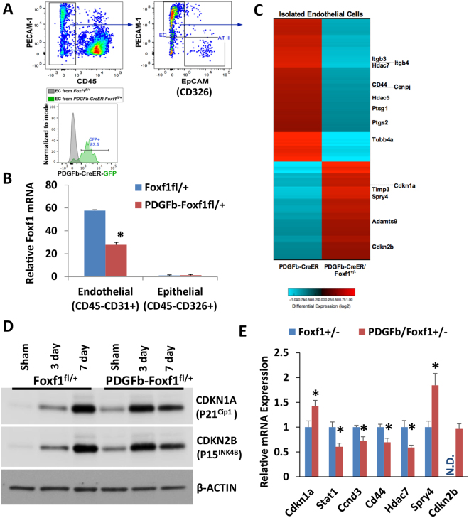 Identification of FOXF1 target genes in endothelial cells from regenerating lungs. ( A ) FACS-sorting strategy to isolate populations of endothelial (CD45 − CD31 + CD326 − ) and epithelial (CD45 − CD31 − CD326 + ) cells, showing GFP expression in PDGFb-iCre expressing mice. ( B ) Foxf1 mRNA was highly expressed in endothelial cells but not in epithelial cells. Endothelial cells from PDGFb-iCre/Foxf1 fl /+ mice had significantly less Foxf1 mRNA than endothelial cells from control mice. ( C ) Heat map showing significant changes in expression of 1047 genes in endothelial cells from Foxf1 fl /+ and PDGFb-iCre/Foxf1 fl /+ lungs after PNX. ( D ) Western blot analysis showed increased protein levels for CDKN1A (P21 Cip1 ) and CDKN2B (P15 Ink4b ) in PDGFb-iCre/Foxf1 fl /+ lungs in sham mice and 3 days after PNX. Cropped gels are presented here with full gel available in Supplemental Fig. 8 . ( E ) <t>qRT-PCR</t> analysis showed significant changes in mRNA expression of several FOXF1 target genes in endothelial cells from PDGFb-iCre/Foxf1 fl /+ lungs. Cdkn2b was not detectable (N.D.) in control samples. *p