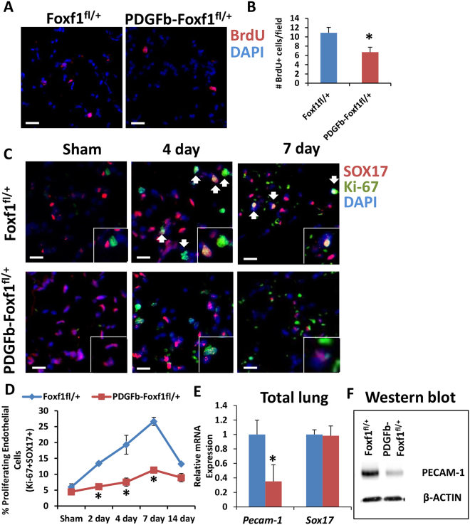 Decreased endothelial proliferation in PDGFb-iCre/Foxf1 fl /+ mice after PNX. ( A , B ) BrdU incorporation showed less proliferation in lungs from PDGFb-iCre/Foxf1 fl /+ mice than control following PNX. ( C , D ) Co-immunofluorescence experiments with SOX17 to mark endothelial cells and Ki-67 to mark proliferating cells showed that endothelial cell proliferation increased following PNX. Endothelial proliferation was attenuated in PDGFb-iCre/Foxf1 fl /+ mice compared to controls. ( E ) qRT-PCR analysis showed decreased Pecam-1 mRNA in lungs from PDGFb-iCre/Foxf1 fl /+ mice compared to controls, Sox17 mRNA expression was unaltered. ( F ) Western blot analysis demonstrated decreased PECAM-1 protein in PDGFb-iCre/Foxf1 fl /+ mice following PNX compared to controls. Cropped gels are presented here with full gel available in Supplemental Fig. 8 . *p