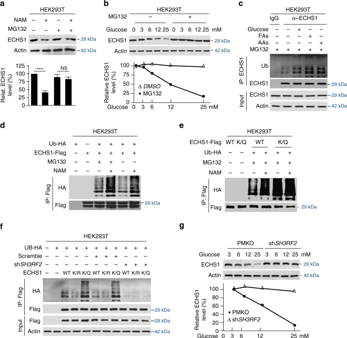 K101 acetylation promotes ECHS1 ubiquitination and degradation. a NAM treatment effects on endogenous ECHS1 levels in HEK293T cells were analyzed in the presence and absence of MG132. Mean values of quantitation with SD are reported. NS not significant; *** P