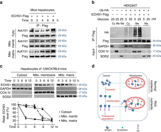 K101 acetylation inhibits ECHS1 mitochondria translocation. a The K101 acetylation levels of ECHS1 in the cytosol, mitochondria membrane, and mitochondria matrix were detected after mouse primary hepatocytes were exposed to 25 mM glucose for 0, 2, 4, 6, and 8 h. b Flag-tagged ECHS1 was co-expressed with HA-tagged ubiquitin in HEK293T cells. ECHS1 ubiquitination levels in the cytosol, mitochondria membrane, and mitochondria matrix were detected under low and high glucose treatment for 4 h. GAPDH, COX IV and SOD2 were used as markers of cytosol, mitochondria membrane and mitochondria matrix, respectively. c ECHS1 levels in the cytosol, mitochondria membrane, and mitochondria matrix were analyzed ( n = 3) after cells were exposed to 25 mM glucose for 3, 6, 9, and 12 h. Representative western blots are presented. All levels were normalized to those of cells at time 0 and the average relative levels were quantified ( bottom ). d Schematic diagram of ECHS1 regulation by nutrients. Nutrient-induced acetylation inactivates ECHS1 and induces ubiquitination of ECHS1 that blocks ECHS1 mitochondrial translocation and promotes ECHS1 degradation. These effects synergistically inactivate ECHS1