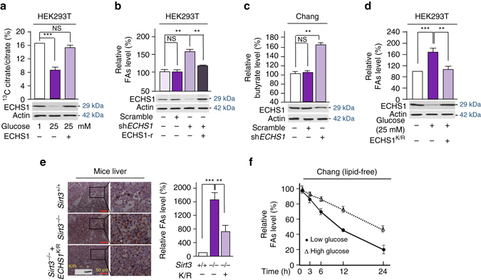 Nutrient induces FAs accumulation. a The conversion of 13 C-palmitate to 13 C-citrate was traced in HEK293T cells cultured in low and high glucose media, and in ECHS1 overexpressing HEK293T cells cultured in high glucose media. b Relative FAs levels in HEK293T cells, ECHS1 knocked down HEK293T cells and ECHS1 knocked down HEK293T cells overexpressing shRNA resistant ECHS1 (ECHS1-r) were detected. All levels were normalized to the total proteins. c The relative butyrate levels in Chang liver cells and ECHS1 knocked down Chang liver cells were determined ( n = 4). The butyrate levels in untreated Chang liver cells (25 μM) were set as 100%. d The relative FAs levels in HEK293T cells cultured in low glucose (−), high glucose (+), and high glucose with ECHS1 K101R overexpression were determined ( n = 3). e The FAs levels in the liver of wild type, Sirt3 −/− , and ECHS1 K/R overexpressing Sirt3 −/− 129/C57BL6 mice were assessed by oil red staining. Four mice of each group were analyzed. Relative FAs levels were determined by comparing intensity of signals, Sirt3 +/+ value was set as 100% arbitrarily ( right ). f The relative (to time 0) intracellular FAs levels in Chang cells that were maintained in high glucose (25 mM) and low glucose (1 mM) were detected ( n = 3) at time points as indicated. For all figures, mean values with SD are reported. NS not significant; * P