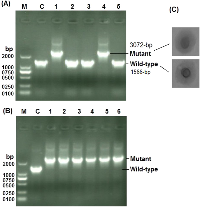 Analysis of hlyC disruption: DNA was extracted from the grown culture of M . hyorhinis transformed with Mini-oriC-HT1 ( A ) and Mini-oriC-HT2 ( B ) targeting plasmids along with control untransformed cultures, was subjected to PCR analysis using hlyC flanking primers ( P11 , Table 1 ) to investigate the integration of the tetM into M . hyorhinis genome at hlyC site. Wild-type hemolysin exhibits 1566-bp while mutant hemolysin that encodes tetM along with spiralin gene promoter has about 3072-bp. ( C ) the phenotype of the wild-type and mutant colonies of M . hyorhinis . The gel image was cropped and full-length gel is included in the Supplementary Fig. S10 .