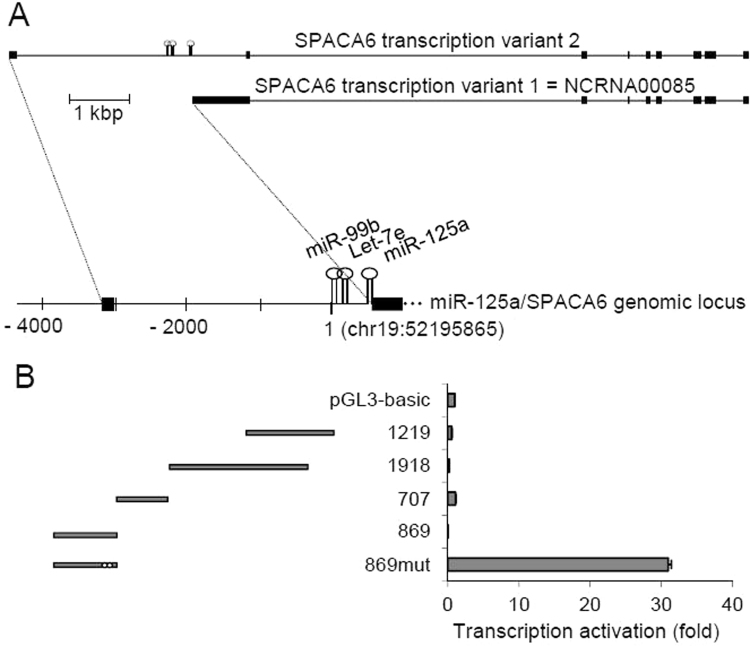 Isolation of miR-125a promoter. ( A ) Two major transcripts of SPACA6 gene and map of its genomic locus; exons and microRNAs are indicated by black boxes and loops, respectively; the first base of pre-miR-99b was assigned as nucleotide 1 ( B ) Five genomic DNA segments (grey bars in the left side of the panel) spanning nucleotides -36 to -3875 were cloned in the luciferase reporter plasmid pGL3-basic and assayed for transcription promoter activity in HepG2 cells. The reporter constructs are named according to the size of the cloned genomic fragment and their activity is reported in the adjacent plot; 869mut construct carries two point mutations (marked by white dots) eliminating putative translation start sites. Assays were performed at least in triplicate and expressed as mean ± SD.