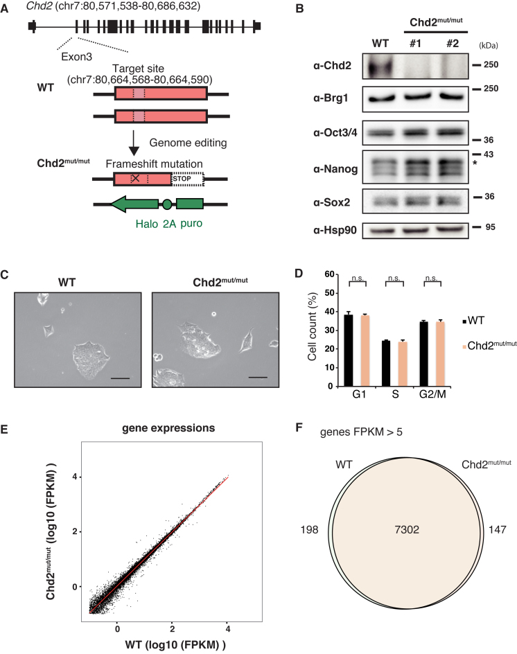 Chd2 depletion is independent of the capacity for self-renewal in undifferentiated mESCs. ( A ) Scheme of generating Chd2 mut/mut ESCs using the CRISPR/Cas9 system ( 25 ). The gRNA target site (chr. 7: 80, 664, 568–80, 664, 590) is indicated by a pink box. Details are shown in Supplementary Figure S1A . ( B ) Depletion of endogenous Chd2 protein in ESCs using the CRISPR/Cas9 system. Western blot analyses of WT and Chd2 mut/mut ESCs using antibodies against Chd2, Brg1, Oct3/4, Nanog, Sox2 and Hsp90 are shown. ( C ) Morphologies of WT and Chd2 mut/mut ESCs were not significantly changed under a bright field. Scale bars = 50 μm. ( D ) Cell cycle analysis of WT and Chd2 mut/mut ESCs by flow cytometry. The population of cells in each cell cycle phase (G 1 , S or G 2 /M) was calculated based on the intensity of Hoechst 33342. Data represent the mean of three independent experiments ± standard deviation. n.s., P > 0.05. ( E ) Scatter plot showing the expression levels of all genes in undifferentiated WT and Chd2 mut/mut ESCs. RNA-seq datasets were obtained and FPKM values were calculated. The red line indicates a regression line. ( F ) Venn diagram showing the overlap between genes with FPKM > 5 in WT and Chd2 mut/mut ESCs.