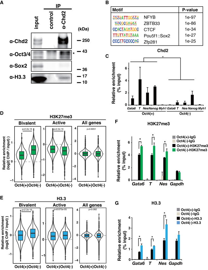 Chd2 is associated with Oct3/4 for H3.3 deposition in developmental gene loci. ( A ) Immunoprecipitations were performed from WT ESC extracts using a Chd2-specific antibody or IgG as a control. Western blot analyses of the products using antibodies against Chd2, Oct3/4, Sox2 and H3.3 are shown. ( B ) Motif analysis of the Chd2-binding region around the bivalent genes (±50 kbp) using HOMER ( 43 ). ( C ) ChIP-qPCR assay using anti-Chd2 antibodies at bivalent genes ( Gata6, T, Nes, Nanog and Myh1 ) in WT and Oct3/4-depleted mESCs. Recovery efficiency (mean ± standard deviation of three independent experiments) is expressed as enrichment relative to the input. * P