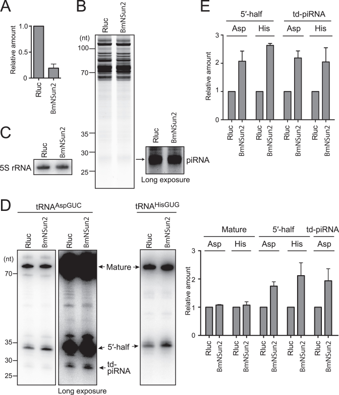 Analyses of 5′-tRNA halves and td-piRNAs in BmNSun2-depleted BmN4 cells. ( A ) BmNSun2 mRNA from BmN4 cells treated with dsRNAs targeting Rluc (negative control) or BmNSun2 was quantified by qRT-PCR. Each data set represents the average of three independent experiments with bars showing the SD. ( B ) Total RNA from Rluc- or BmNSun2-depleted cells was subjected to denaturing PAGE and stained by SYBR Gold. Long exposure enabled clear observation of the piRNA bands. ( C ) Total RNA from Rluc- or BmNSun2-depleted cells was subjected to northern blot targeting the Bombyx 5S rRNA. ( D ) Total RNA from Rluc- or BmNSun2-depleted cells was subjected to Northern blot targeting the 5′-part of mature tRNA AspGUC and tRNA HisGUG . Because the 5′-part of the tRNA was targeted, 5′-half and td-piRNA, as well as mature tRNA, were all detected. We failed to detect td-piR HisGUG due to a lack of sensitivity. The northern blot bands were quantified and shown as relative abundance in the right graph. Abundances in Rluc-depleted cells were set as 1, and the averages of three independent experiments with bars showing the SD are shown. ( E ) The 5′-halves and td-piRNAs in Rluc- or BmNSun2-depleted cells were quantified by TaqMan qRT-PCR. The amounts in Rluc-depleted cells were set as 1, and relative amounts are indicated. Averages of three independent experiments with SD values are shown.