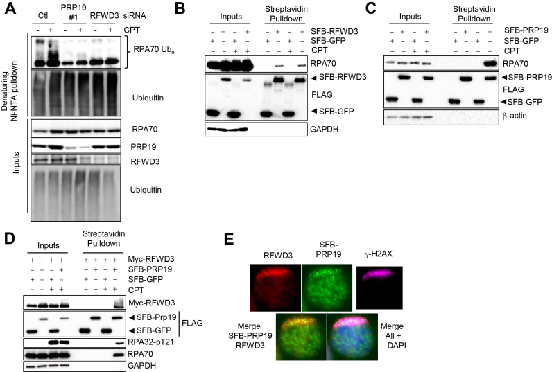 PRP19 assembles with RFWD3 on RPA–ssDNA in response to DNA damage and promotes RPA ubiquitylation. ( A ) PRP19 and RFWD3 depletion perturb DNA damage-induced RPA ubiquitylation. Cells were transfected with siRNAs targeting either PRP19 or RFWD3 and a vector expressing His 6 -tagged ubiquitin, treated or not with CPT and lysed under denaturing conditions. Ni-NTA pulldown was performed to isolate ubiquitylated proteins. ( B ) Cells were transfected with SFB- (S-protein, FLAG, streptavidin-binding peptide) GFP or SFB-RFWD3 vectors and streptavidin pulldown of SFB-tagged proteins in untreated or CPT-treated cells was performed. The indicated proteins were immunoblotted. ( C ) Cells were transfected with SFB-GFP or SFB-PRP19 vectors and streptavidin pulldown of SFB-tagged proteins isolated from untreated or CPT-treated cells was performed. The indicated proteins were immunoblotted. ( D ) Cells were transfected with SFB-GFP or SFB-PRP19 and myc-RFWD3 vectors. Streptavidin pulldown of SFB-tagged proteins isolated from untreated or CPT-treated cells was performed and the indicated proteins were immunoblotted. ( E ) HeLa cells transfected with an SFB-PRP19 vector and pre-sensitized with BrdU were UV laser microirradiated. Immunofluorescence against endogenous γ-H2AX, RFWD3 and FLAG epitope was subsequently performed to monitor RFWD3 and PRP19 accrual at damage sites.