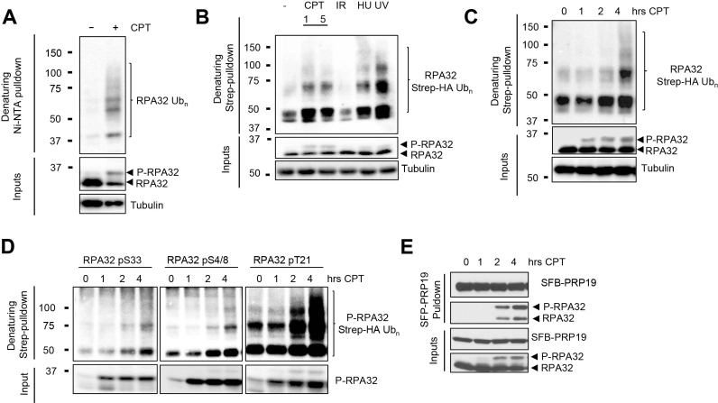 RPA32 is phosphorylated and ubiquitylated in response to DNA damage that targets active replication forks. ( A ) Cells were transfected with a vector expressing His 6 -tagged ubiquitin and lysed under denaturing conditions. Ni-NTA pulldown was performed to isolate ubiquitylated proteins. The indicated proteins were detected with specific antibodies. ( B ) Cells were transfected with a vector expressing Strep-HA ubiquitin and treated with 1 or 5 μM CPT, 10 γ IR, 4 mM HU or 50 J/m 2 UV for 4 h. Ubiquitylated proteins were isolated by Strep-Tactin pulldown under denaturing conditions. ( C ) Cells transfected as in (B) were treated with 1 μM CPT for the indicated times and total RPA32 or ( D ) phosphorylated RPA32 species were detected using specific antibodies after Strep-Tactin pulldown. ( E ) A stable HEK293T cell line expressing SFB-PRP19 was treated with CPT 1 μM for the indicated times. SFB-PRP19 and its interactors were isolated using streptavidin-associated beads.