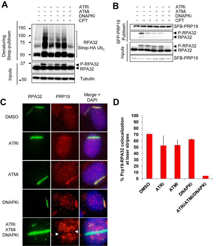 RPA32 ubiquitylation is regulated by PI3K-like kinases. (A) Cells were transfected with a vector expressing Strep-HA-tagged ubiquitin, pre-treated for 1 h with VE-821 (ATRi, 10 μM), KU55933 (ATMi, 10 uM), NU7441 (DNAPKi, 2 μM) or a combination of all three inhibitors, treated with 1 μM CPT for 4 h and lysed under denaturing conditions. Strep-Tactin pulldown was performed to isolate ubiquitylated proteins. ( B ) Cell transfection with an SFB-PRP19 vector were treated as in A and streptavidin pulldown was performed to isolate PRP19 along with its interactors. Controls for the efficiency of the inhibitor treatments are provided in ( S2A ). ( C and D ) U2OS cells were pre-sensitized with 10 μM BrdU, treated with the indicated inhibitors along with DRB for 1 h and damaged by UV-laser microirradiation. Recruitment of PRP19 and RPA32 was monitored 2 h after damage by immunofluorescence.