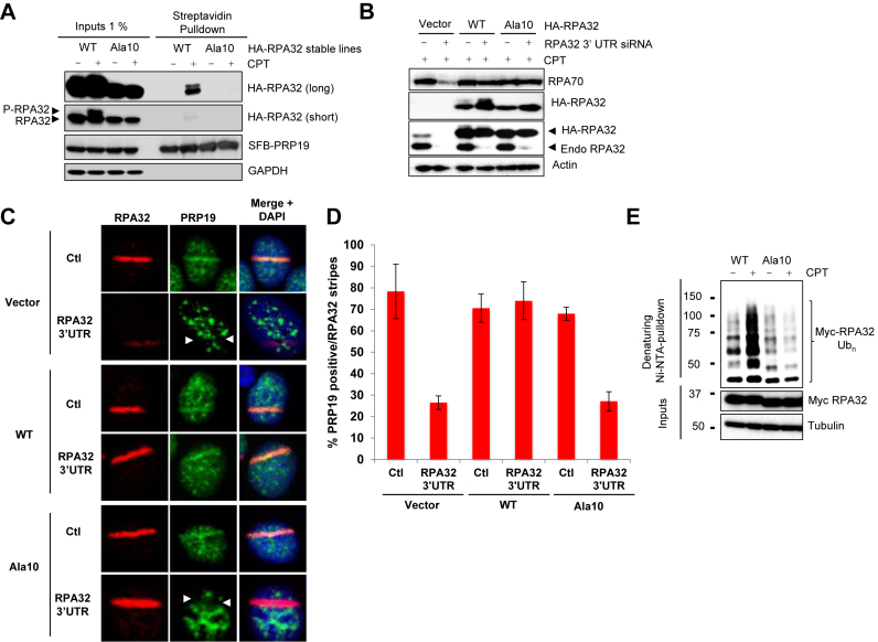 DNA-damage-induced RPA phosphorylation promotes its ubiquitylation. ( A ) HeLa cell lines stably expressing HA-tagged WT or Ala10 RPA32 mutants were transfected with a vector expressing SFB-PRP19. Cells were then treated with CPT 1 μM for 4 h, lysed and SFB-PRP19 and its interactors were isolated using streptavidin-associated beads. ( B ) Stable HeLa cell lines expressing the indicated HA-tagged RPA32 constructs were transfected with an siRNA targeting the 3′ untranslated region for the RPA32 mRNA. 72 h later, cells were treated with 1 μM CPT for 2 h, lysed and the indicated proteins were detected using specific antibodies. ( C ) Alternatively, cells transfected as in (B) were microirradiated and processed for immunofluorescence to examine PRP19 recruitment to laser stripes. ( D ) Histogram representing the recruitment of endogenous PRP19 to RPA32 stripes after laser microirradiation. The error bars correspond to biological triplicate experiments. At least 100 microirradiated cells were examined for each replicate. ( E ) Cells were transfected with vectors expressing His 6 -tagged ubiquitin and myc-tagged WT or Ala10 RPA32 mutants and treated with 1 μM CPT for 3 h. Ubiquitylated proteins were isolated by denaturing Ni-NTA pulldown.