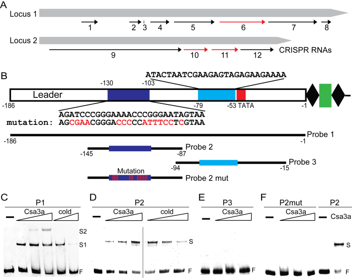 Csa3a binding to the leader sequence and activating CRISPR transcription. ( A ) CRISPR RNA activation by Csa3a revealed by transcriptome data. Black arrows: up-regulated CRISPR RNAs in Δ cas1 :: csa3a and Δ cas3cmr2αcmr2β :: csa3a strains; red arrows: up-regulated CRISPR RNAs in wt:: csa3a , Δ cas1 :: csa3a and Δ cas3cmr2αcmr2β :: csa3a strains, compared with their respective control strains. ( B ) DNA motifs in leader sequences and probes used for EMSA experiments. Two DNA motifs in leader sequences similar to the Csa3a-binding site are shown in dark and light blue, and their sequences are shown above or below the motifs. A putative TATA box is shown within the red rectangle. Wt and mutation DNA probes for EMSA experiments and their nucleotide ranges relative to the first repeat are indicated. ( C ) EMSA experiments with increasing amount of Csa3a (10, 20 and 40 ng/μl; 10 ng/μl = 0.4 pmol/μl) or unlabelled cold probe (6- or 12-fold excess) using a biotin-labeled full-leader sequence as the probe (10 ng/μl). ( D ) EMSA experiments with increasing amounts of Csa3a (10, 20 and 40 ng/μl) or unlabelled cold probe (2-, 6- or 12-fold excess) using HEX-labeled Probe 2 (10 ng/μl). E, EMSA experiments performed with increasing amounts of Csa3a (10, 20 and 40 ng/μl), using HEX-labelled Probe 3 (10 ng/μl). ( F ) EMSA experiments performed with increasing amounts of Csa3a (10, 20 and 40 ng/μl), using HEX-labeled Probe 2 mut (P2mut) with mutation at the putative Csa3a-binding motif (10 ng/μl). The reaction with 40 ng/μL Csa3a and 10 ng/μl Probe 2 was used as the positive control.