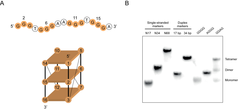 Mutations that induce formation of dimeric and tetrameric G-quadruplex structures. ( A ) Primary sequence and proposed topology of the reference construct used in these experiments. Mutated positions in the central tetrad are numbered. ( B ) Native gel showing different types of multimeric structures formed by mutants of the reference construct. Experiments were performed at 10 μM DNA concentration in a buffer containing 200 mM KCl, 1 mM MgCl 2 and 20 mM HEPES pH 7.1.