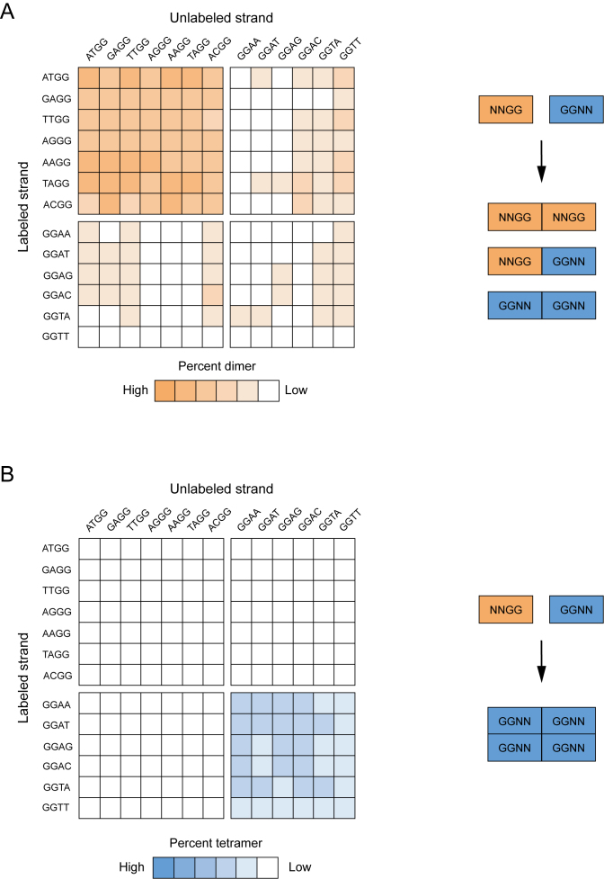 Formation of heteromultimeric G-quadruplexes from pairs of mutants with different sequences. ( A ) Sequence requirements of heterodimer formation. Left: heat map showing the ability of pairs of sequences with different mutations in the central tetrad of the reference construct to form heterodimers. Colors match those in Figure 4 . Right: model describing the types of sequences that can form heterodimers. ( B ) Sequence requirements of heterotetramer formation. Left: heat map showing the ability of pairs of sequences with different mutations in the central tetrad of the reference construct to form heterotetramers. Colors match those in Figure 5 . Right: model describing the types of sequences that can form heterotetramers. In each heat map, spaces are used to separate the seven dimer-forming sequences (on the left part of the x axis and the top part of the y axis) from the six tetramer-forming sequences (on the right part of the x axis and the bottom part of the y axis). Experiments were performed using 10 μM of the unlabeled G-quadruplex variant indicated on the x axis mixed with ≤10 nM of the radiolabeled G-quadruplex variant indicated on the y axis. All experiments were performed in a buffer containing 200 mM KCl, 1 mM MgCl 2 and 20 mM HEPES pH 7.1.