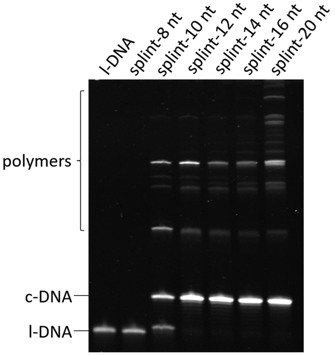 Effects of the length of splints on the efficiencies of cyclization of l-DNA 66  and its polymerization under conventional conditions. All the DNA substrate was added to the mixture all at once at the beginning of the reaction. Each of the splints is complementary to equal number of nucleotides in the 5′- and 3′-ends of l-DNA 66 , respectively (the binding mode of splint-12 nt is presented in Figure   1A ). The reaction conditions: [l-DNA 66 ] 0  = 5 μM; [splint] 0  = 10 μM; 20 U T4 DNA ligase in 1 × T4 ligase buffer at 20°C and 12 h. The sequences of splints were listed in   Supplementary Table S1 .