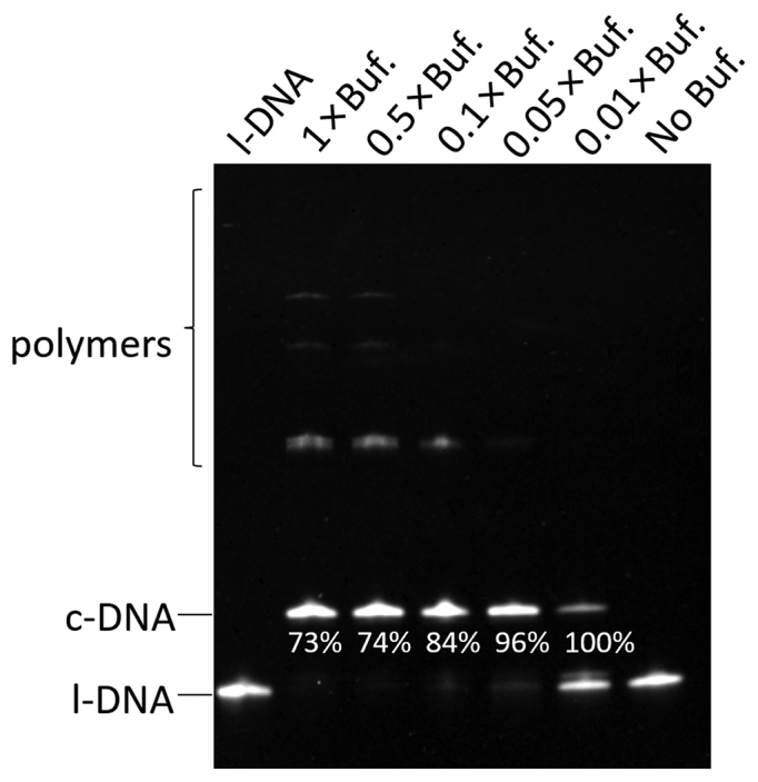 Effects of the concentration of T4 ligase buffer on the efficiencies of cyclization of l-DNA 66  and its polymerization. All the DNA substrate was added to the mixture all at once at the beginning of the reaction. The selectivity for the formation of c-DNA 66  is presented below the corresponding band. The reaction conditions: [l-DNA 66 ] 0  = 1 μM; [splint-12 nt] 0  = 2 μM; 5 U T4 DNA ligase at 20°C and 12 h. Note that 1 × T4 ligase buffer contains 10 mM MgCl 2 , 500 μM ATP, 10 mM DTT and 40 mM Tris-HCl.