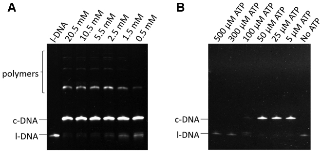 Effects of ( A ) [Mg 2+ ] 0  and ( B ) [ATP] 0  on the cyclization of l-DNA 66  by T4 DNA ligase. [l-DNA 66 ] 0  = 1 μM, [splint-12 nt] 0  = 2 μM, 5 U T4 DNA ligase at 20°C and 12 h. [ATP] 0  = 25 μM, [DTT] = 0.5 mM, and [Tris–HCl] = 2 mM in ( A ), whereas [MgCl 2 ] = 0.5 mM, [DTT] = 0.5 mM, and [Tris–HCl] = 2 mM in ( B ).
