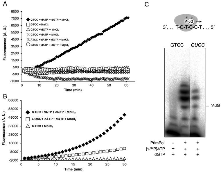 Fluorometric assay to detect RNA-dependent Hs PrimPol DNA primase/polymerase activity. ( A ) Fluorescence kinetics as a measure of de novo DNA synthesis by purified Hs PrimPol (450 nM), in combination with different components as indicated. An increase in fluorescence as a function of time occurred only when dATP and dGTP (100 μM each), the GTCC template (1 μM; see Supplementary Table S1 ), and MnCl 2 (1 mM) were added. The use of the ATCC template (1 μM; Supplementary Table S1 ), or MgCl 2 as metal donor, did not render a measurable fluorescence signal. ( B ) Fluorescence kinetics using the optimal conditions described in A, but comparing GTCC and GUCC templates (see Supplementary Table S1 ). A negative control assay using GTCC template in the absence of dNTPs is represented as a comparison. Note that the scale of arbitrary units in the y-axis is different with respect to A. ( C ) Representative electropherogram of a priming experiment carried out with purified Hs PrimPol (450 nM) and 16 nM [γ-32P]ATP, 100 μM dGTP and either GTCC or GUCC as template. The position of the labeled '5′-AdG-3′ dimer is indicated. Detailed experimental conditions, as well as templates sequences are described in Materials and Methods.
