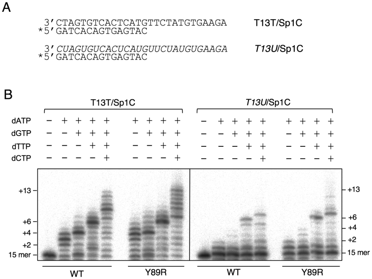 RNA-dependent DNA polymerase activity shown by WT HsPrimPol and Y89R variant. ( A ) Names and sequences of oligonucleotides used as template/primer hybrids to measure primer-dependent dNTP incorporation by Hs PrimPol; RNA sequences are indicated in italics; '*' indicates the radiolabeled oligonucleotide used as primer. ( B ) Polymerization reactions by WT or Y89R variant Hs PrimPol was evaluated using the indicated combinations of dNTPs (100 μM each) and either DNA (T13T/Spc1) or RNA ( T13U /Spc1) templates. As shown by electrophoretic analysis, primers (15-mer) elongated in 2, 4, 6 or 13 residues represent the expected products in the presence of either dATP, dATP+dGTP, dATP+dGTP+dTTP, or the four dNTPs, respectively.