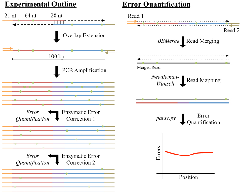 Schematic of enzymatic error correction and downstream data processing. We assembled our 142 bp product from two 113 nt oligos consisting of a 21 nt primer, a 64 nt payload and a 28 nt overlap region. After annealing and overlap extension, we amplified our template via polymerase chain reaction (PCR), yielding 100 bp of template in-between the primer sites. We then denatured and re-annealed the PCR products to form heteroduplexes, thereby exposing any errors (shown in green). After, we subjected the pool of heteroduplexes to two successive rounds of ten different enzymatic error correction treatments. At each step, we took aliquots and sequenced the products on an <t>Illumina</t> MiSeq with fully overlapping forward and reverse reads. To mitigate sequencing errors, we used BBMerge to merge reads with a perfect agreement between the forward and reverse reads. We then aligned these sequences to the designed reference using an exhaustive Neeleman–Wunsch aligner to minimize alignment artifacts. Finally, we further processed the alignments to quantitate the types and extent of different errors across all conditions.