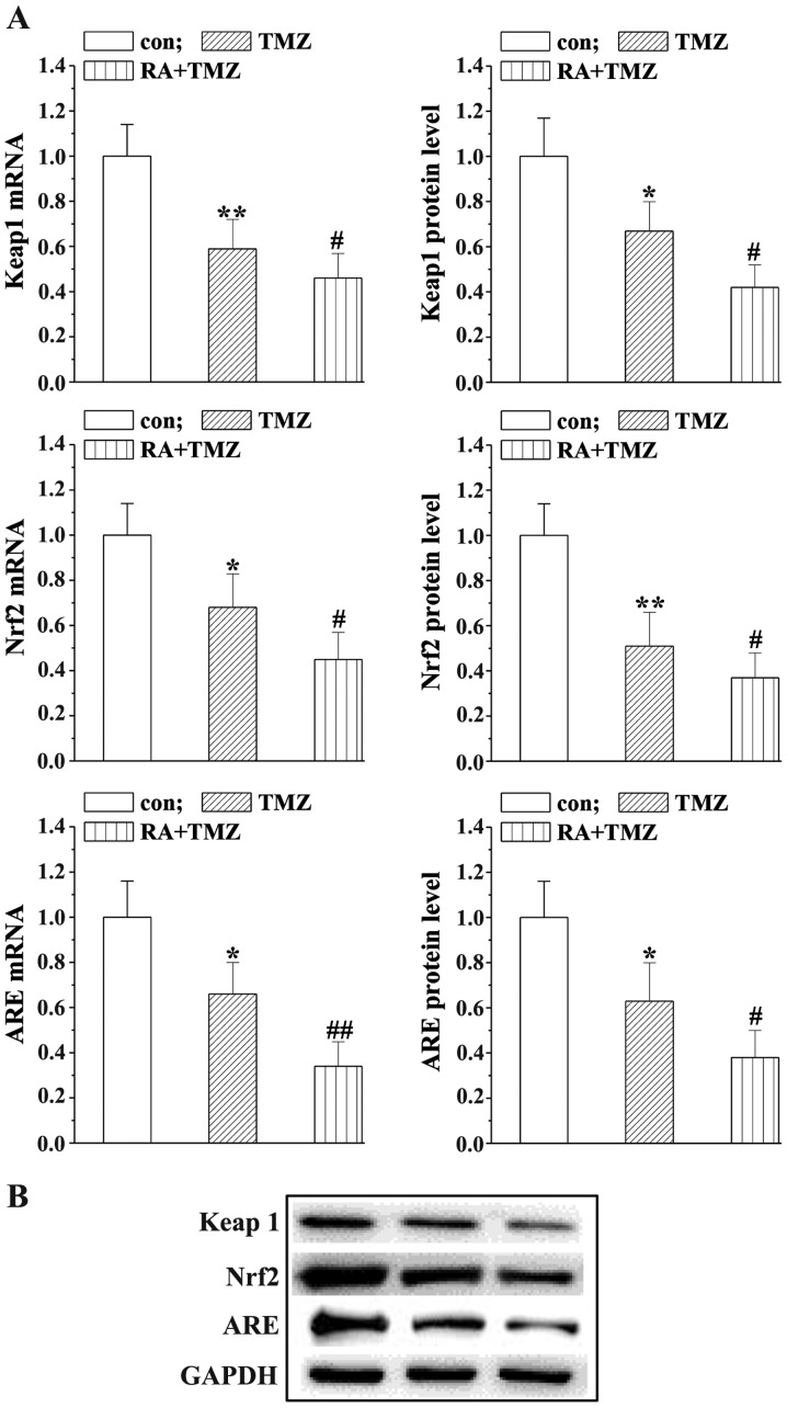 RA enhances the effects of TMZ on Keap1/Nrf2/ARE signaling. (A) Keap1/Nrf2/ARE mRNA levels detected by RT-PCR. (B) Protein levels were detected using western blot analysis. Bar charts show relative protein levels in the treatment and control groups. Statistically significant difference (*P